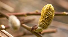 Wierzba (Salix cinerea) (wilco79) Tags: macro nature canon dof pov depthoffield pointofview ef50mmf18ii eos500d