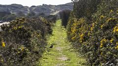 bunny on the path (HHH Honey) Tags: rabbit bunny seaside path devon gorse horseyisland sony70300g sonya7rii minimoonxi horseysands pillsmouth