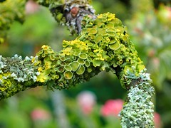Licheni (libra1054) Tags: macro nature closeup bokeh outdoor natur natura lichen licheni flechten lquen lquenes
