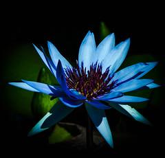 _15L9752 (5816OL) Tags: flowers dad waterlilies