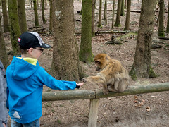 Apes of god (spline_splinson) Tags: max animal germany de deutschland ape salem bodensee affe macaques badenwrttemberg barbarymacaques barbaryape affenberg apehill boyandape