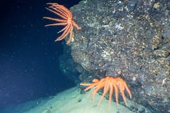 Orange Crinoids (ianc7777) Tags: leica sony submarine stanley karl roatan exploration institue deepsea idabel trielmar a7rii