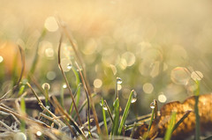Green Appears (flashfix) Tags: ontario canada macro nature grass glitter droplets spring nikon ottawa dew 40mm mothernature morningdew glisten 2016 raynoxdcr250 backyardphotography d7000 nikond7000 2minutemacro 2016inphotos april022016