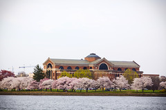 2016 03 26 - 1073 - DC - Cherry Blossoms (thisisbossi) Tags: flowers trees usa southwest washingtondc dc unitedstates rivers sakura sw cherryblossoms potomacriver floweringtrees hainspoint nationalwarcollege