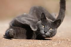 Rolling (Luis-Gaspar) Tags: portrait praia beach portugal face animal cat nikon feline outdoor iso400 retrato gato felino oeiras nino f8 streetcat d60 11250 gatoderua pacodearcos 55300