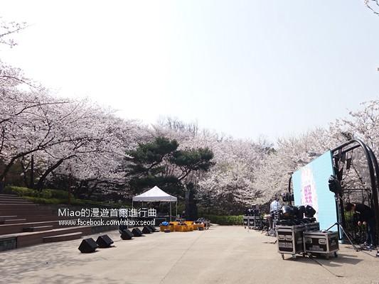 안산공원벚꽃17