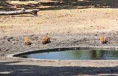 Red colobus monkeys, Fathala Reserve, Senegal (**Anik Messier**) Tags: africa nature animals reserve safari senegal animaux afrique wildness rserve redcolobusmonkeys snral