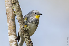 Yellow-rumped warbler (Setophaga coronata) (Tony Varela Photography) Tags: warbler yellowrumpedwarbler woodwarbler droh setophagacoronata photographertonyvarela