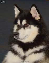 Diesel (Aidan MBN) Tags: rescue dog malamute