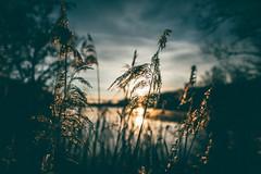 Love of nature (Tim RT) Tags: sun lake blur love reed nature clouds sunrise reeds germany prime tim spring nikon dof natural bokeh outdoor moment fullframe capture rt reutlingen d810 20mmf18 nikor20mm