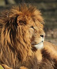 african lion Burgerszoo JN6A5653 (j.a.kok) Tags: lion burgerszoo leeuw africanlion afrikaanseleeuw pantheraleoleo