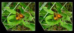 Male Zabulon Skipper, Poanes Zabulon - Crosseye 3D (DarkOnus) Tags: macro male closeup butterfly insect lumix stereogram 3d crosseye pennsylvania skipper panasonic stereo stereography buckscounty crossview poanes zabulon dmcfz35 darkonus