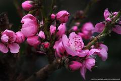 Zierbaum Blte (Erwin Lorenzen) Tags: pink macro nature germany outdoor natur pflanze rosa elo blte garten baum frhling obst frhlingsbeginn saveearth diamondclassphotographer canoneos5dmarkii zierpfirsich prunuspersicamelred zierbaumblte pfirsichmelred nutzbaum