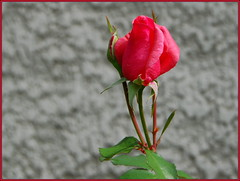 Red Rose (petrk747) Tags: flower nature rose flora village outdoor redrose slovakia doublefantasy roztoky