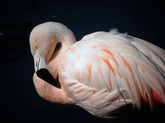 Flamingo (France-) Tags: bird animal rose flamingo bec oiseau 59 palmdesert flamand