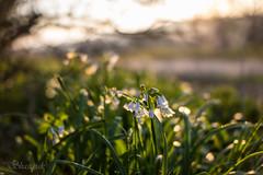 Morning Bells (Shastajak) Tags: sunrise bokeh earlymorning springflowers earlymorninglight alliumtriquetrum threecorneredleek