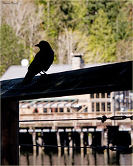 keeping watch (marneejill) Tags: silhouette bay bc watching guard perched horseshoe crow overlooking