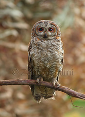 The Mottled Wood Owl (Strix ocellata) (Zahoor-Salmi) Tags: camera pakistan 2 macro nature birds animals canon lens photo tv google flickr natural action mark wildlife watch bbc 7d punjab discovery wwf salmi walpapers chanals beutty bhalwal zahoorsalmi