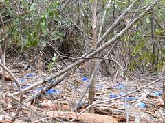 Bower Bird Nest (tessab101) Tags: blue mountains bird bottle nest caps reserve australia nsw pegs bower sassafras gully