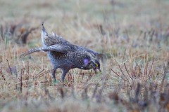 Sharptails, Dancing in the Rain (Wild Bill in MN) Tags: sony grouse sharptail sal70400g a77m2