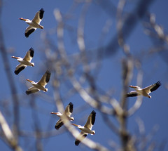 Pelicans Through the Trees 04152016 (Orange Barn) Tags: sky pelicans spring baretrees barebranches forestparknaturecenter peoriaheightsillinois peoriaparkdistrict