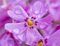 Flowers after rain (net.furion) Tags: zeiss sony carl alpha 135mm sonnar dcr250 raynox a6000