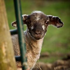 Irresistible (jayneboo) Tags: cute home spring shropshire sweet lamb lambs agriculture farmiung