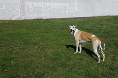 Space (DiamondBonz) Tags: dog pet green grass space hound whippet spanky dogchal