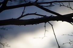 Raindrops (Spannarama) Tags: tree water rain evening droplets twilight dusk branches japanesemaple raindrops twigs outofmywindow