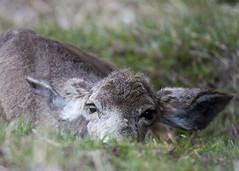 Mule Deer (jgmanwar) Tags: nature wildlife deer idaho snakeriver muledeer southfork
