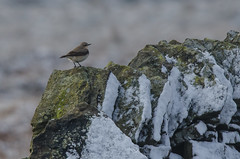 Wheatear wishing it had stayed in Africa (Tim Melling) Tags: summer snow district peak visitor wheatear timmelling