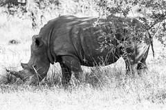 White Rhino 2 (ScottMcQueen) Tags: africa southern rhino endangered rhinocerous extinct zambia whiterhino babyanimals babyrhino zm travelphotography yolo guidedtour gadventures