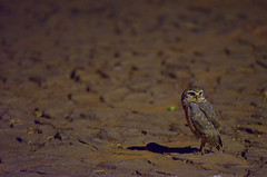 noctambulos (Papa Pic) Tags: noche ave pajaro nocturno piedra buho lechuza empedrado