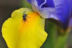 Anthomyia sp (luporosso) Tags: flowers naturaleza flores flower macro nature fleur closeup fleurs insect nikon flor natura bugs fiori fiore mosca insetto naturalmente nikond300s