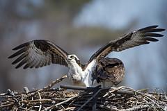 Osprey on the Defensive (Denis Rule) Tags: nest raptor prey defensive osprey nesting