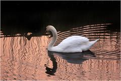Swan (cees van gastel) Tags: nature water birds swan vogels natuur zwaan tamron70300mm ceesvangastel canoneos550d