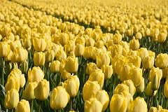 Yellow tulips, Noordwijkerhout, May 1, 2016 (cklx) Tags: red holland yellow spring tulips may tulip april brightcolors tulpen noordwijkerhout tulp lisse 2016 bollenstreek hillegom
