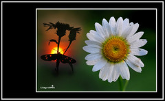 This is the life (Dieghito61) Tags: sun flower nature closeup sunrise work nikon fantasy daisy diurnalmoth amatasynthomisphegea