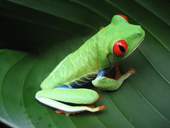Costa Rican Frog (danielmartinez16) Tags: thumbnail tag4