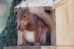 Red Squirrel (jonathan.scaife81) Tags: red nature canon scotland squirrel eating wildlife perthshire loch nut dunkeld lowes tamron70300 650d