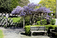 Wisteria Benches (ruthlesscrab) Tags: canada bc wisteria westvancouver hbm benchmonday
