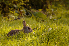 Rabbit (Wessel...) Tags: rabbit netherlands canon rotterdam konijn nederland kralingen kralingseplas