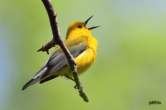 Prothonotary Warbler (D500 image) (jt893x) Tags: bird nikon sigma warbler d500 songbird prothonotarywarbler protonotariacitrea nikond500 150600mm sigma150600mmf563dgoshsms
