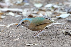 Blue-rumped Pitta (male) (Vinchel) Tags: park bird nature animal cat canon is outdoor wildlife vietnam national ii l usm f28 tien 400mm 1dx