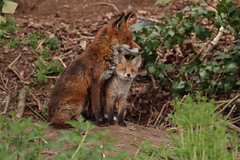 Fox and her Cub (Colin Rigney) Tags: family ireland red nature outside outdoor wildlife fox cubs vixen foxcubs motherandchildren irishwildlife diamondclassphotographer flickrdiamond canoneos7d colinrigney riverdoddercodublin
