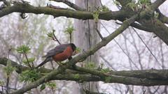 bird in nathalies backyard. april 2016 (timp37) Tags: tree bird illinois backyard nathalie april 2016