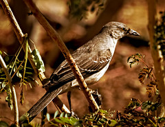 Mockingbird (http://fineartamerica.com/profiles/robert-bales.ht) Tags: arizona people foothills southwest beautiful birds animals fauna wow mississippi spectacular photo flickr texas berries florida tennessee wildlife fineart feathers surreal peaceful insects places seeds northernmockingbird sensational arkansas states projects magnificent mockingbird mimuspolyglottos avian yuma haybales songbird mocking whitespot perching mimics statebird passeriformes imitations birdphotography passerine mimicking mimidae polyglottos imagekind canonshooter socialbirds photouploads robertbales