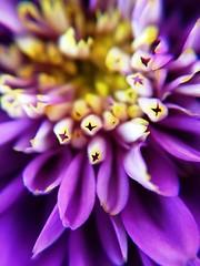 Macro lens flowers (agleibowitz) Tags: flowers macro purpleflower macrolens afterlight shotoniphone ipadpro olloclip iphone6s shotoniphone6s