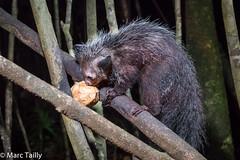 MarcTailly_mgb201509015116.jpg (hayastanlover) Tags: animals lemur mammals madagascar dieren primates primaten zoogdieren