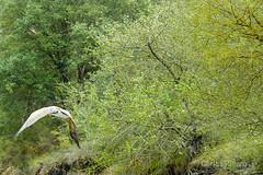 Buitre leonado (Airbeluga) Tags: espaa naturaleza nature fauna animales burgos buitres castillalen castillaylen sanfelicesdelrudrn tubilladelagua